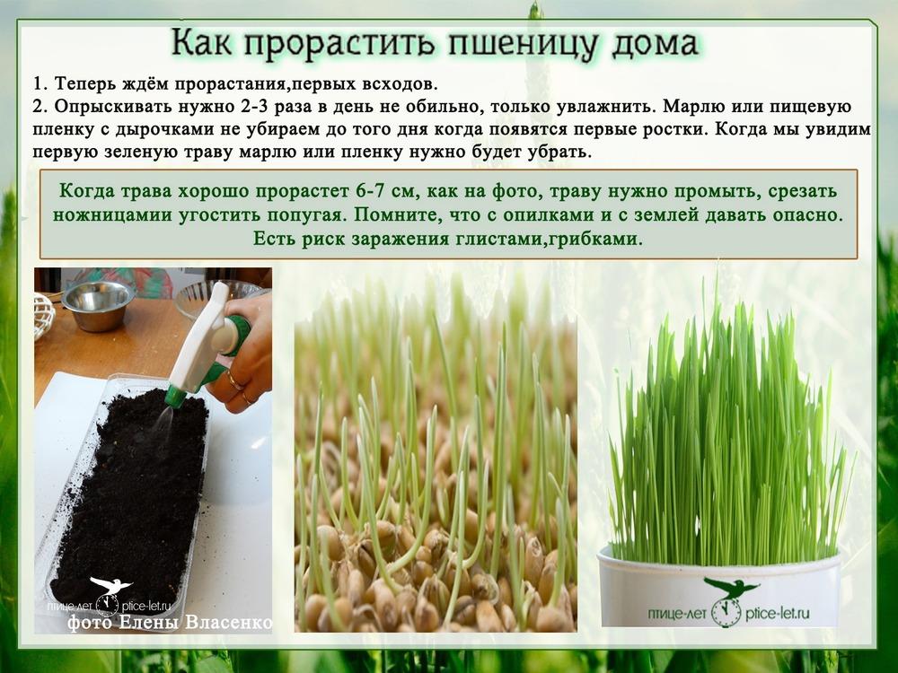 Как в домашних условиях посадить пшеницу в 64
